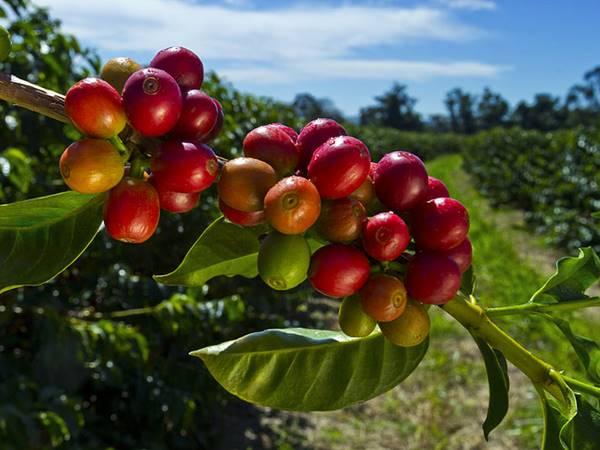 Kaffeplantage i Kodagu