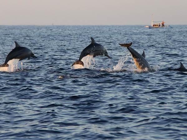 Delfiner utanför Lovina Beach