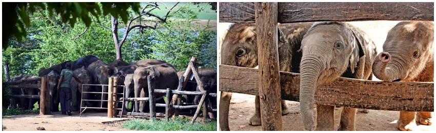 singelresor-sri-lanka-Udawalawe Elephant Transit Home