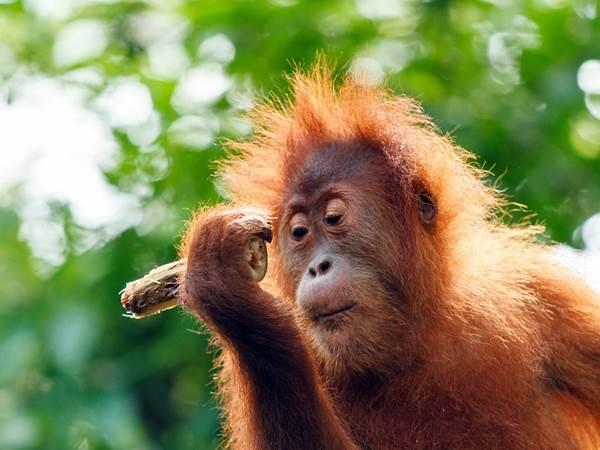 Sepilok orangutangreservat