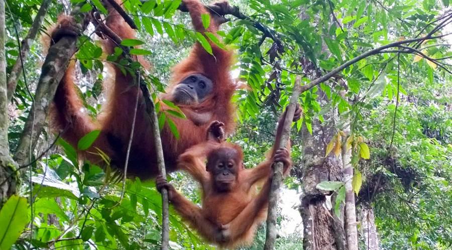 borneo-orangutanger